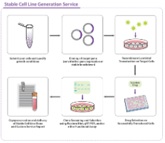 Custom Stable Cell Line Generation Workflow