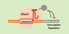 CRISPR Gene Activation Repression