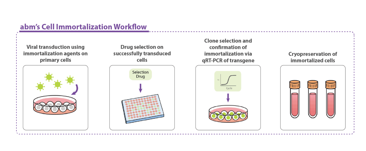 Cell Immortalization Workflow